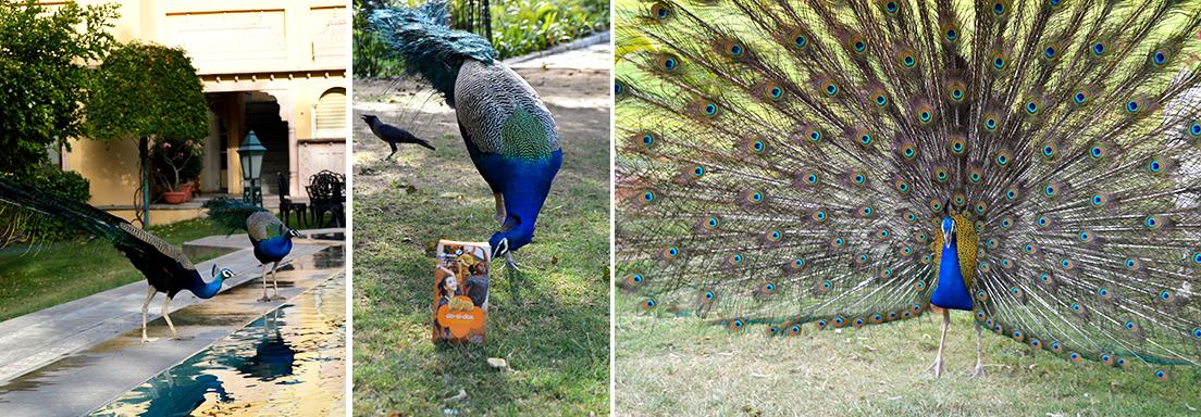 Peacocks_Cookies